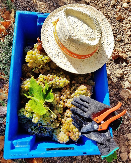Tub of freshly picked grapes with hat, gloves and shears