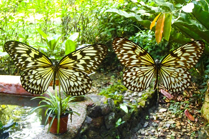 Two colourful butterflies in the Bohol Butterfly conservation area