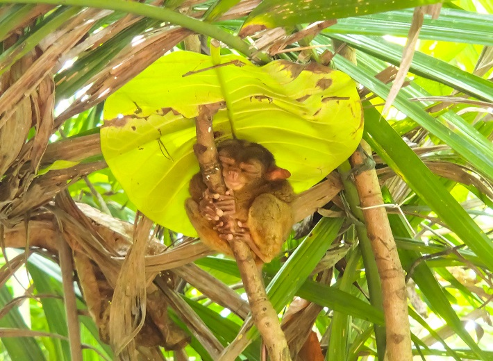 A tarsier in a tree sleeping, sheltered by a large leaf