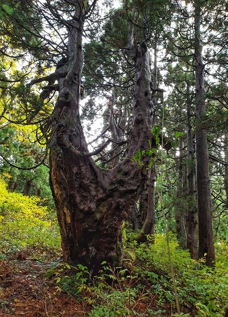 Osado Ishina Natural Cedar Forest Hikiing
